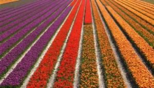 praca-holandia-w-rolnictwie